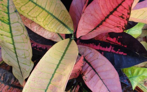 배경 화면 식물, 분홍색 및 녹색 잎