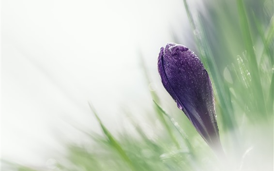 Wallpaper Purple crocus, flowers, water droplets, hazy