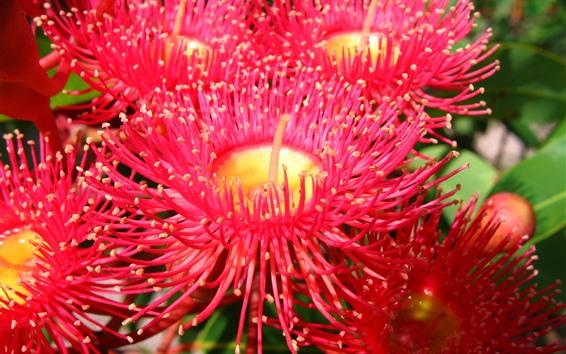 Papéis de Parede Crisântemo vermelho, algumas flores, pétalas