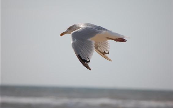 Обои Полет чайки, крупный план птицы