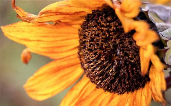 Papéis de Parede Close-up de girassol, pétalas, pistilo