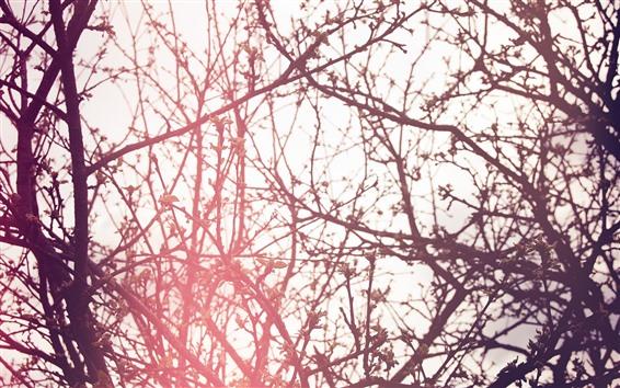 Fond d'écran Arbres, brindilles, printemps, bourgeons, éblouissement