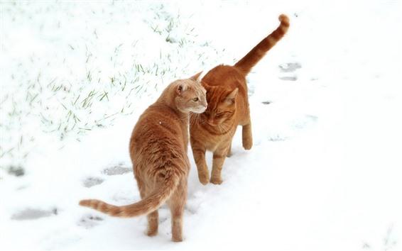 Hintergrundbilder Zwei orangefarbene Katzen, weißer Schnee, Winter
