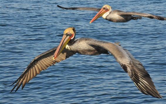 Wallpaper Two pelicans flight, wings, sea