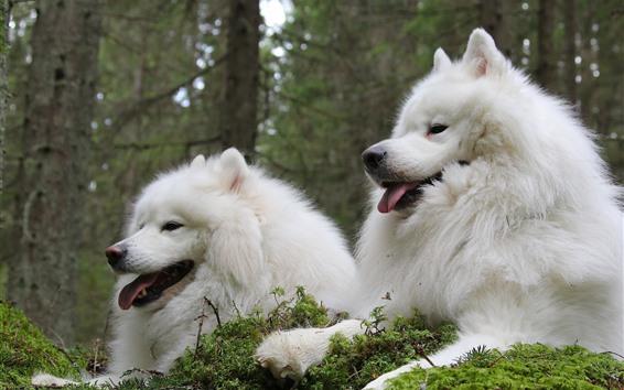 壁紙 2匹の白い犬、休んで、見て