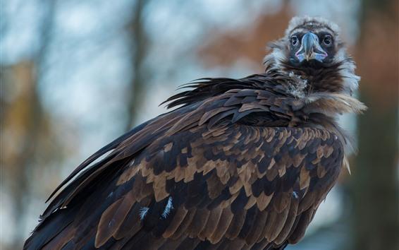 Papéis de Parede Abutre, pássaro, águia