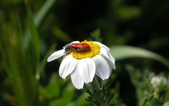 Wallpaper White flower, petals, ladybug, insect