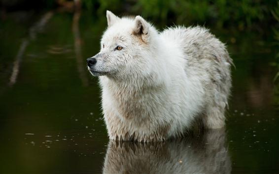 Fondos de pantalla Lobo blanco, parado en el agua