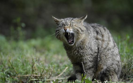 Fond d'écran Chat sauvage, bâillement, dents, herbe