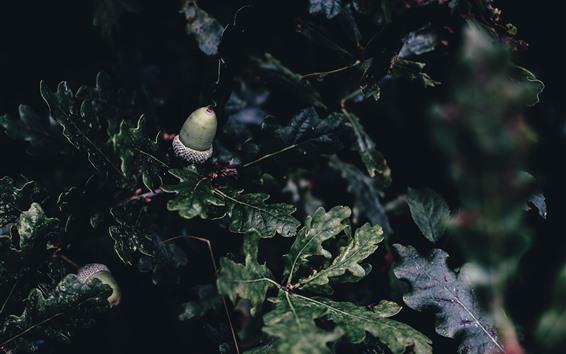 Wallpaper Acorn, oak, green leaves