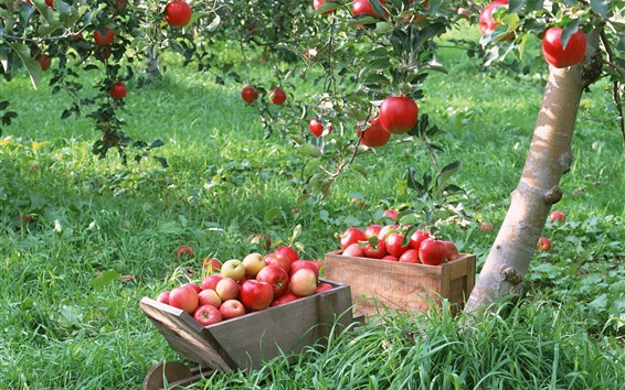 Обои Яблоня, красные яблоки, урожай
