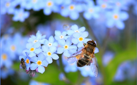 Wallpaper Bee, insect, blue flowers, forget-me-not