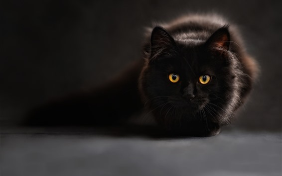 Wallpaper Black cat, rest, face, front view, yellow eyes