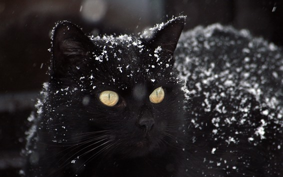 Wallpaper Black cat, snow, winter