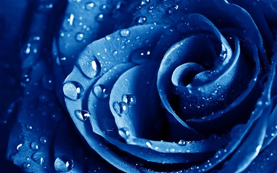 Wallpaper Blue rose macro photography, petals, water droplets