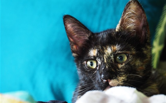 Wallpaper Cat, kitten, blue background
