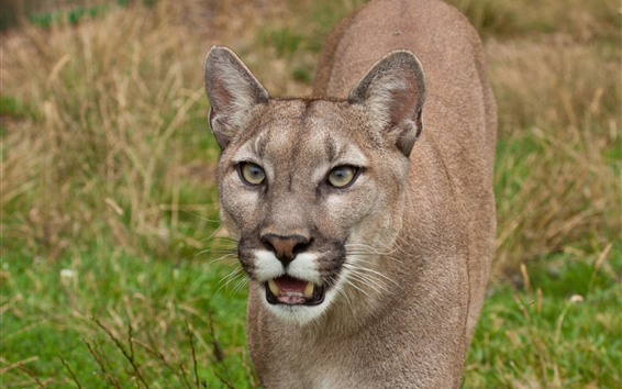 Wallpaper Cougar, face, teeth, wildlife