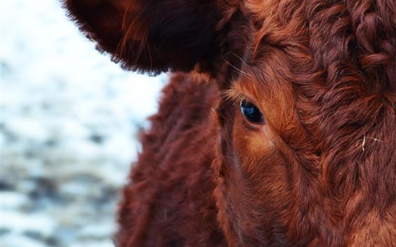 Wallpaper Cow, brown, eyes, look