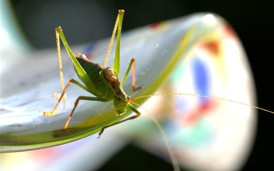 Papéis de Parede Gafanhoto, macro fotografia de inseto, nebuloso