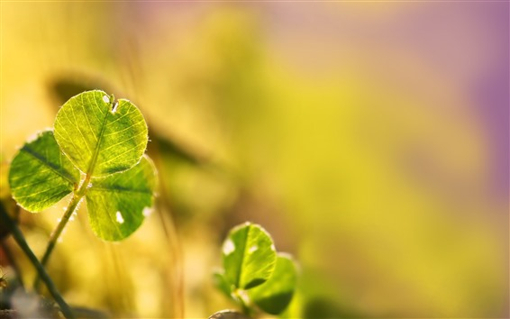 배경 화면 녹색 클로버 잎, 햇빛, 흐릿한