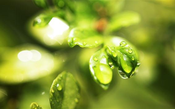 Fondos de pantalla Primer plano de hojas verdes, gotas de agua, resplandor