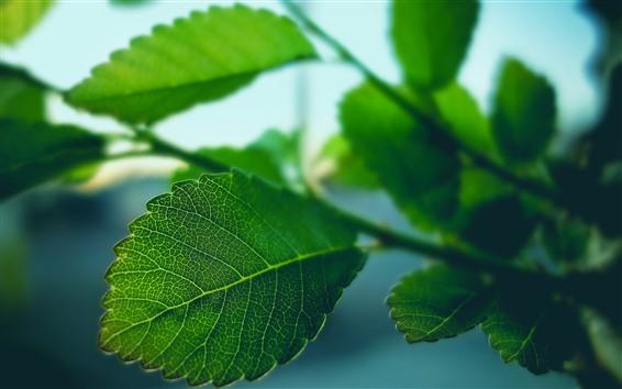 Fond d'écran Feuilles vertes macro photographie, texture, brindilles