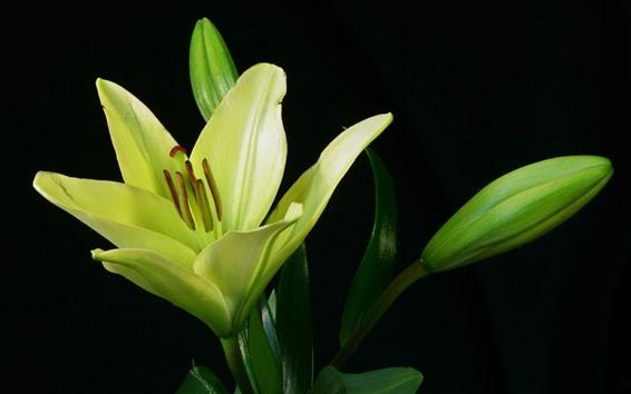Fondos de pantalla Flor de lirio verde, fondo negro