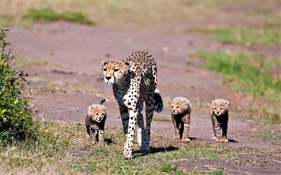 배경 화면 표범, 새끼, 가족, 걷기