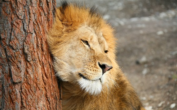 Fond d'écran Lion, crinière, arbre