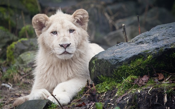 Wallpaper Lion, stone, sit, rest, look