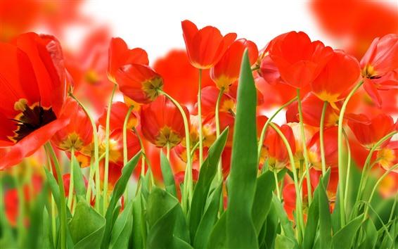 壁紙 多くの赤いチューリップ、緑の葉、茎