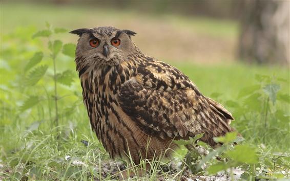 Wallpaper One owl, grass, bird