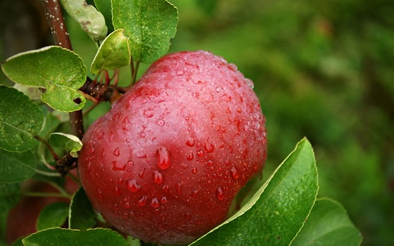 Wallpaper One red apple, water droplets, twigs, green leaves