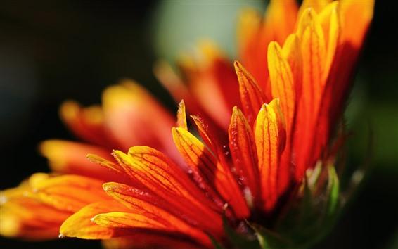 Fond d'écran Gros plan de fleur d'oranger, pétales, brumeux