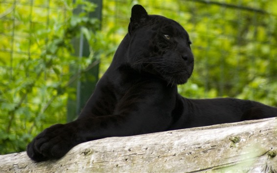 Wallpaper Panther, rest, look, zoo