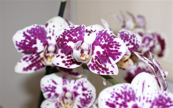 Wallpaper Phalaenopsis, white petals, purple spot
