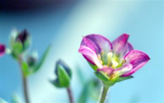 Обои Розовый цветок крупным планом, лепестки, туманный синий фон