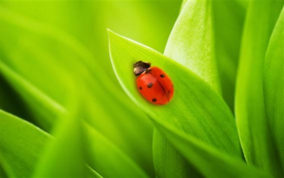 Papéis de Parede Joaninha vermelha, folhas verdes, close-up de inseto