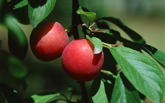 Hintergrundbilder Rote Pflaumen, Zweige, grüne Blätter