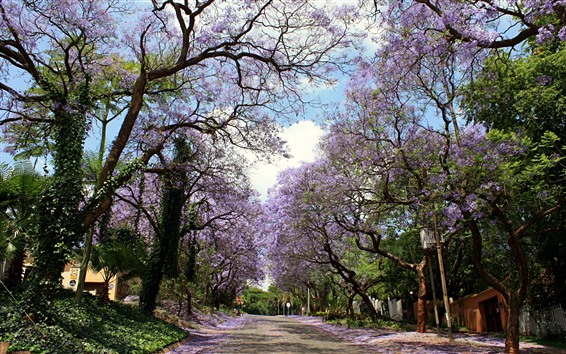 Wallpaper Road, trees, pink flowers bloom, spring