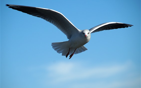 Wallpaper Seagull flying, blue sky, wings, beak