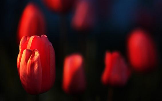 Fond d'écran Quelques tulipes rouges, fond noir