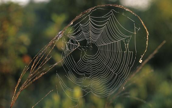 Wallpaper Spider web, grass