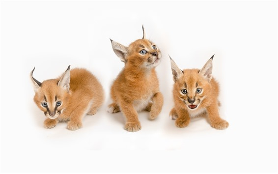 Hintergrundbilder Drei Luchsjungen, süßes Tier