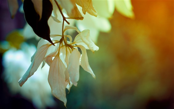 Papéis de Parede Galhos, pétalas de flores brancas