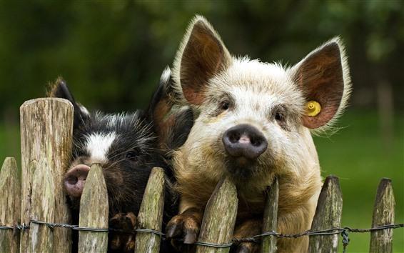 Fondos de pantalla Dos cerdos, valla