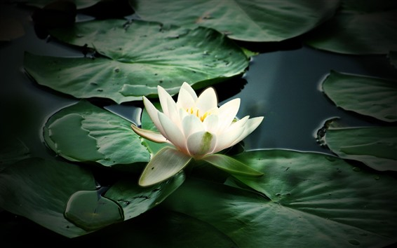 Wallpaper White water lily, green leaves, pond, hazy