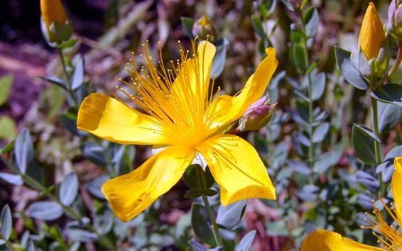 Fond d'écran Fleurs d'hypericum jaune