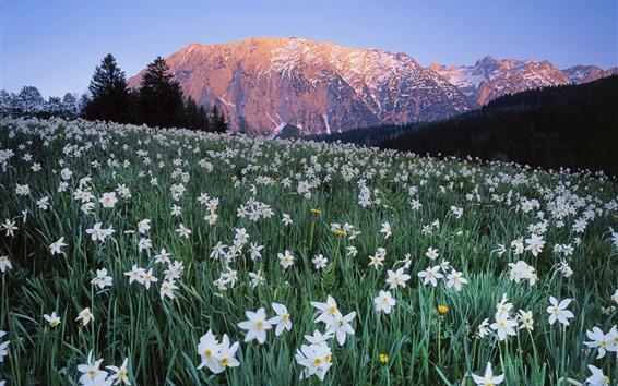 Papéis de Parede Áustria, muitas flores brancas, narciso, montanhas