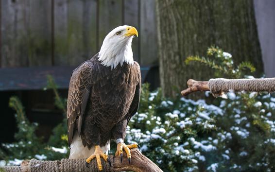Fondos de pantalla Águila calva, pico, cabeza, madera